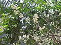 Citrus - വടുകപ്പുളി നാരകം 08.JPG