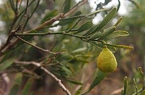 Citrus glauca - Image: Citrus glauca fruit