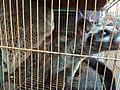 Civet in cage in Jatinegara Market.jpg
