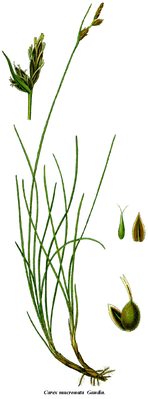 Stachelspitzige Segge (Carex mucronata), Illustration