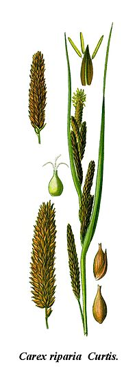 Cleaned-Illustration Carex riparia