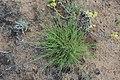 Cleistogenes squarrosa 43937214.jpg