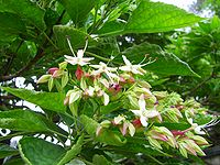 Clerodendrum trichotomum - flower