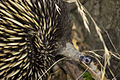Close-up of a short-beaked echidna (Tachyglossus aculeatus), photographed in Wilks Park Wildlife Restoration Area.jpg