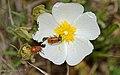 Clytra quadripunctata, Sainte-Lucie Island, Aude 03.jpg