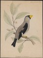Coccothraustes personata - 1833-1850 - Print - Iconographia Zoologica - Special Collections University of Amsterdam - UBA01 IZ16000307.tif