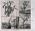 Cocoa tree (Theobroma cacao), Chinese citron or natsumikan ( Wellcome V0043067.jpg