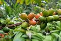 Coffea arabica Nazareth kz2.JPG