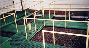 Coffee wastewater - Coffee cherries being separated using water in separation vats