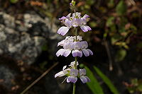 Collinsiabartsiifolia.jpg