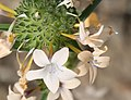 Collomia grandiflora flower-pair close.jpg