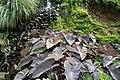 Colocasia esculenta 13zz.jpg