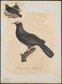 Columba leucocephala - 1825-1834 - Print - Iconographia Zoologica - Special Collections University of Amsterdam - UBA01 IZ15600191.tif