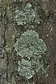 Common Greenshield Lichen - Flavoparmelia caperata (39835605330).jpg