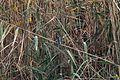 Common Kingfisher - Flickr - GregTheBusker (6).jpg