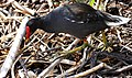 Common Moorhen (Gallinula chloropus) (45509810374).jpg