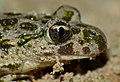 Common Parsley Frog (Pelodytes punctatus) close-up (10113733236).jpg