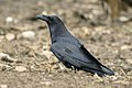 Common Raven - Catalan Pyrenees - Spain MG 4250 (24586755714).jpg