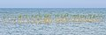 Common Reed (Phragmites australis) - MacGregor Point Provincial Park 01.jpg