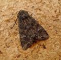 Common Rustic. Mesapamea secalis - Flickr - gailhampshire.jpg