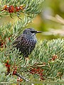 Common Starling (Sturnus vulgaris) (24414089238).jpg