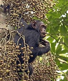 Chimpanzé comum (Pan troglodytes schweinfurthii) feed.jpg