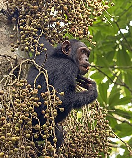 Chimpanzee Great ape native to the forest and savannah of tropical Africa