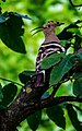Common hoopoe.jpeg