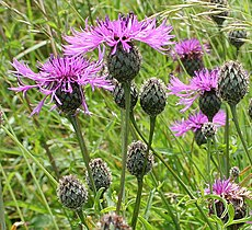 Common knapweed (Centaurea nigra) - geograph.org.uk - 492672.jpg