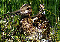 Commonsnipe67.jpg