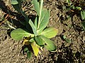 Conringia orientalis sl51.jpg