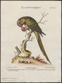 Conurus canicularis - 1700-1880 - Print - Iconographia Zoologica - Special Collections University of Amsterdam - UBA01 IZ18500171.tif