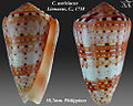 Conus aurisiacus 1.jpg