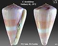 Conus berdulinus 3.jpg