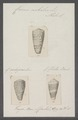 Conus nobulis - - Print - Iconographia Zoologica - Special Collections University of Amsterdam - UBAINV0274 086 07 0013.tif