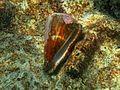 Conus sp. Landaagiraavaru.JPG
