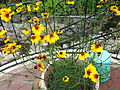 Coreopsis tinctoria plains-yercaud-salem-India.JPG