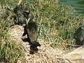 Cormorant-Jerusalem Biblical Zoo 02.JPG