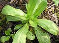 Corn salad, spring, close up.JPG
