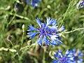 Cornflower - panoramio (2).jpg