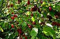 Cornus mas fruit.jpg