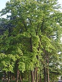 Cornus walteri