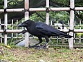 Corvus macrorhynchos japonensis Himeji.jpg