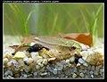 Corydoras pygmaeus carnat joel 3.jpg