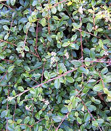 ford gies cotoneaster adpressus tom