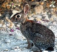 Un lapin gris chiné de noir, avec une queue noire sur le dessus, des yeux noirs et des grandes oreilles