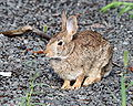 Cottontail Rabbit in West Hartford, Connecticut 2.jpg