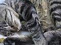Countertop cat (5811402085).jpg