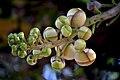 Couroupita guianensis(1).jpg