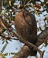 Crested Serpent Eagle (Spilornis cheela) in Kinnarsani WS, AP W IMG 5879.jpg